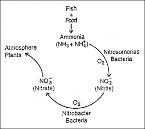 A basic diagram of the nitrogen cycle. (http://www.simplydiscus.com/library/biology/images/ammonia.gif)